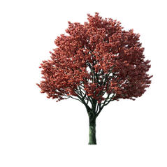 Red Maple Tree Graphic